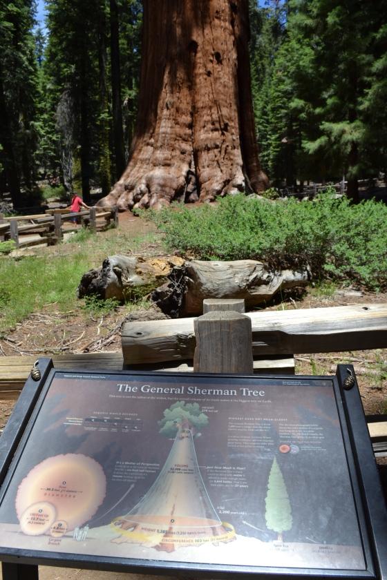 This gargantuan sequoia, while neither the tallest nor the widest tree, is considered the largest living tree in the world because of it's volume. It is believed to be approximately 2,200 years old. Esta gigantesca sequóia não é a mais alta nem a mais larga, mas é considerada a maior árvore vivente do mundo. Acredita-se que tenha em torno de 2.200 anos.