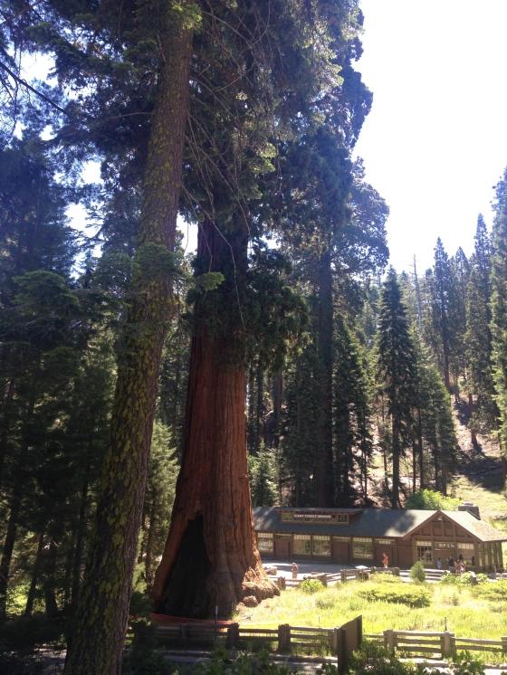 The Giant Forest Museum, provides visitors the chance to learn the story of the sequoias and Giant Forest. Aqui no Museu da Floresta Gigante todas as informações e história das Sequoias Gigantes