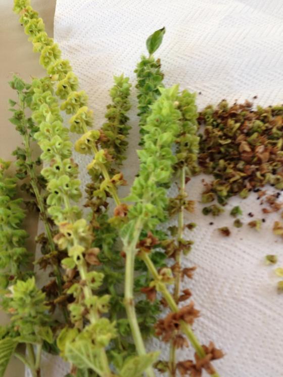 Basil seeds Sementes de basilico