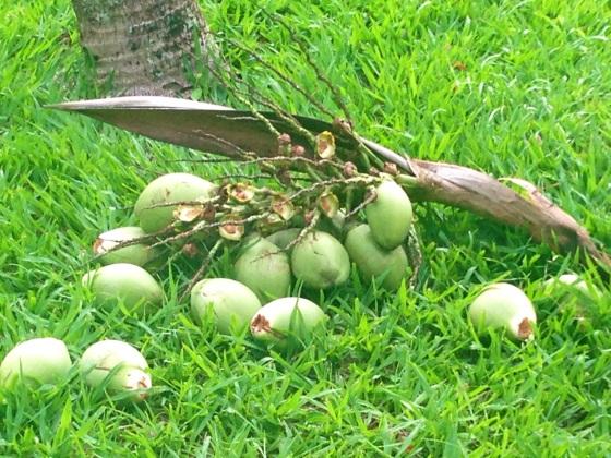 Coconut  - cocos